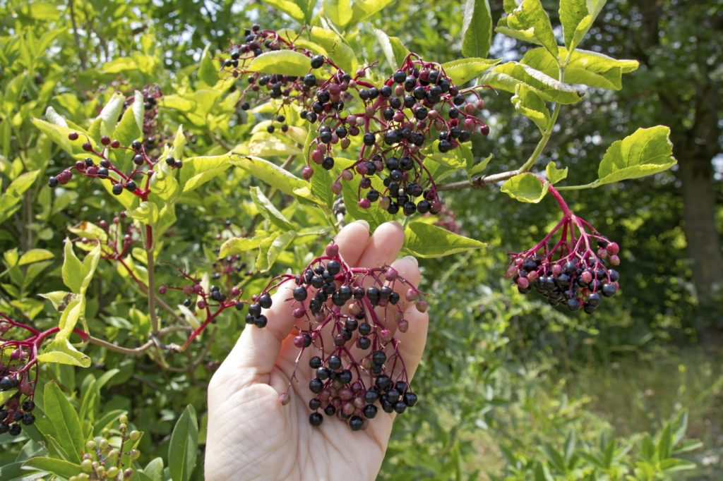 Wild Elderberries (Credit: Gardening Know How)